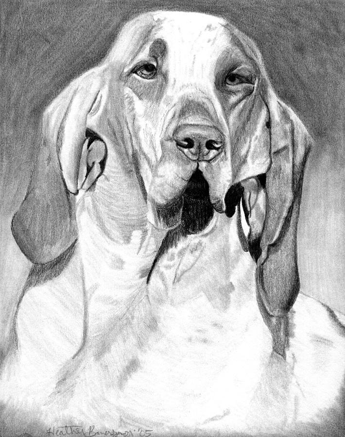 Bracco Italiano Dog Portrait Drawing by Olde Time  Mercantile