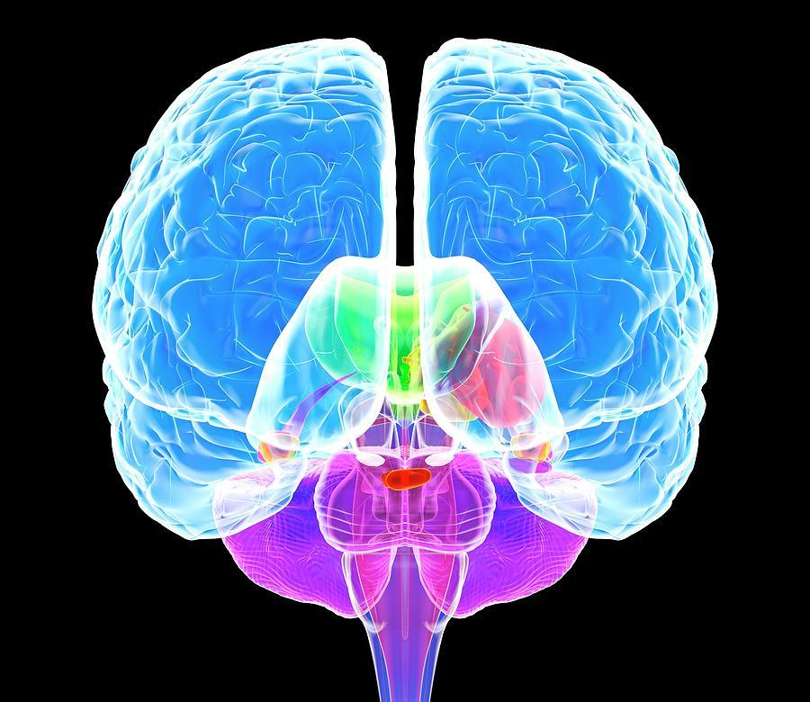Anatomical Photograph - Brain Anatomy by Roger Harris