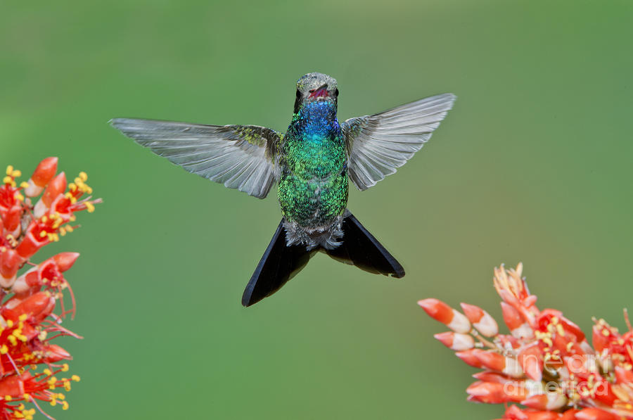 Hummingbird Photograph - Broad-billed Hummingbird by Anthony Mercieca