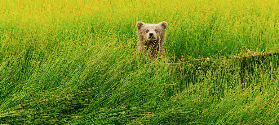 Brown Bear Cub, Lake Clark National Photograph by Mint Images/ Art Wolfe