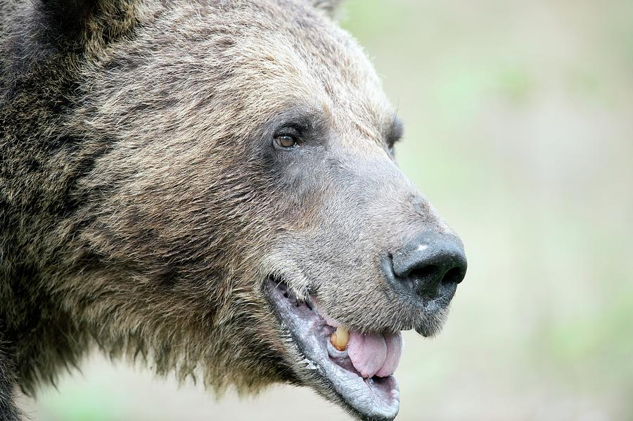 Brown Bear Photograph - Brown Bear by Dr P. Marazzi/science Photo Library