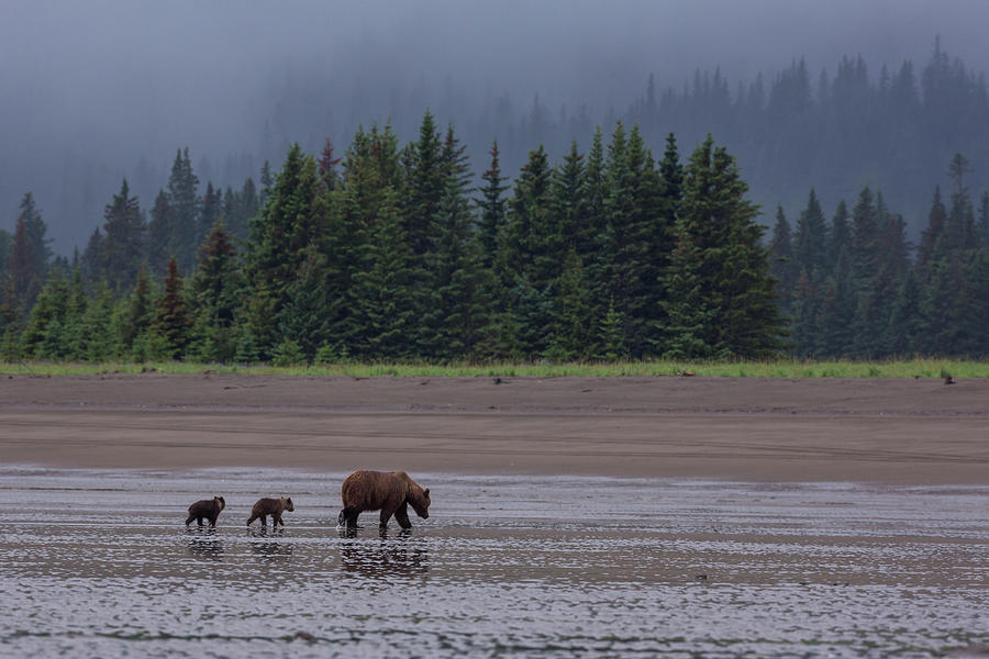 Brown Bear In Lake Clark National Park Photograph by Gavriel Jecan