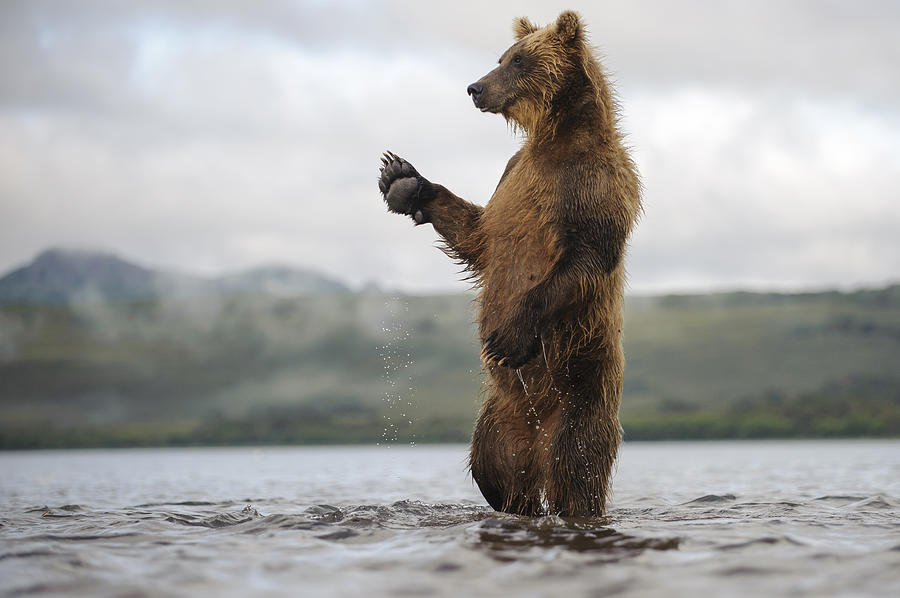 Brown Bear In River Kamchatka Russia Photograph by Sergey Gorshkov