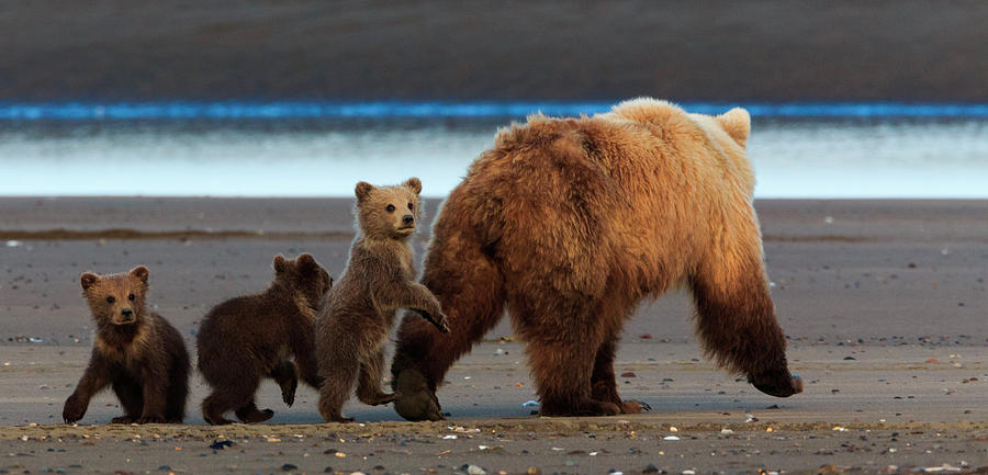 Brown Bear Sow And Cubs, Lake Clark Photograph by Mint Images/ Art Wolfe