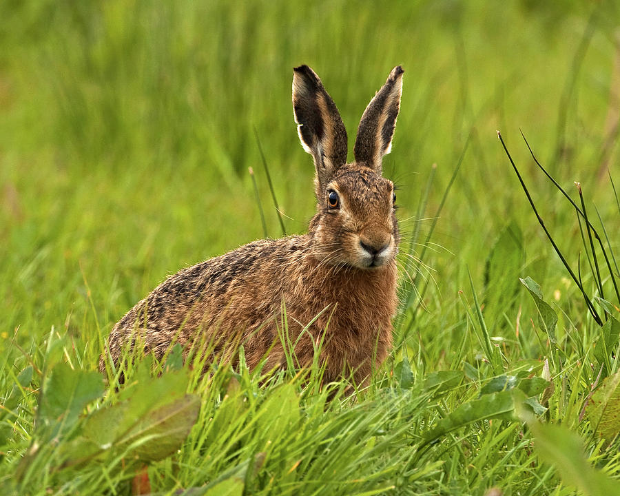 Hare Photograph - Brown Hare by Paul Scoullar