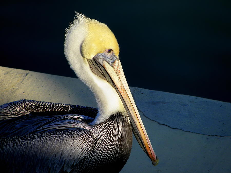 Brown Pelican by Iustin Cret