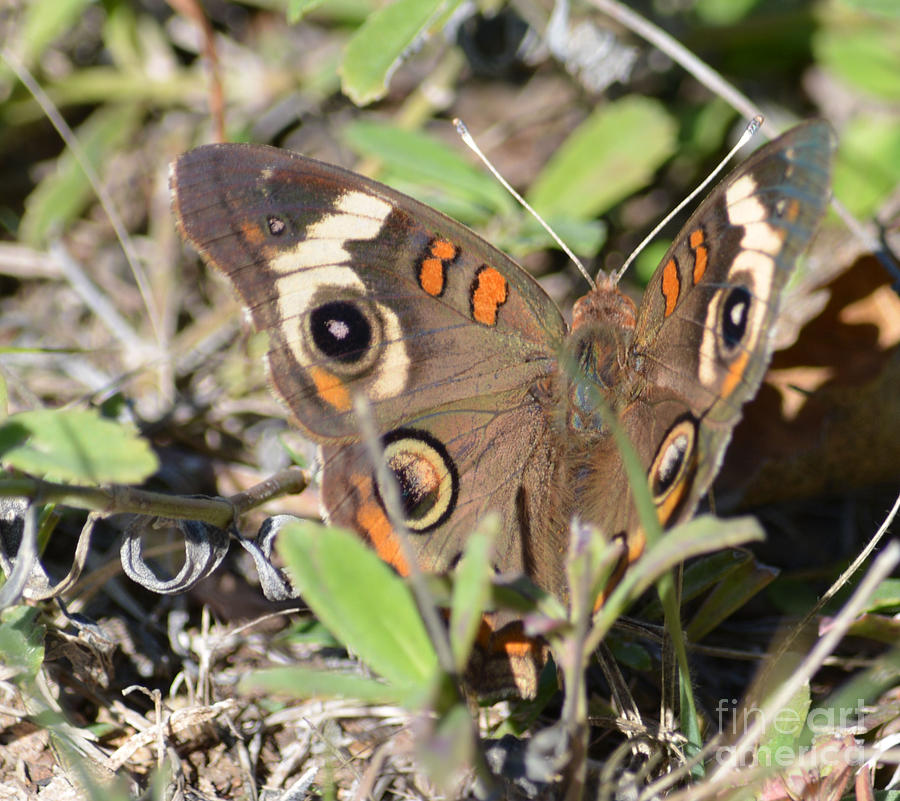 Buckeye Butterfly  Photograph by Ruth  Housley