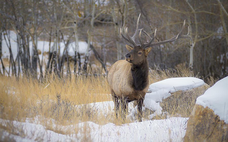 Bull Elk Photos Photograph - Bull Elk by Garett Gabriel