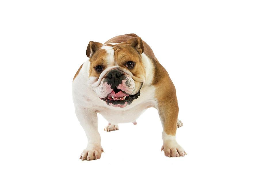 Bulldog Anglais Photograph By Gerard Lacz
