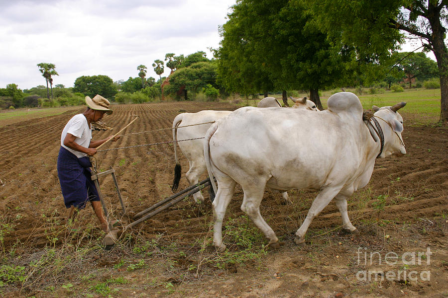 BURMESE FARMER PLOUGHING THE FIELD TO BE READY FOR THE WET SEASON OLD BAGAN BURMA by PIXELS  XPOSED Ralph A Ledergerber Photography