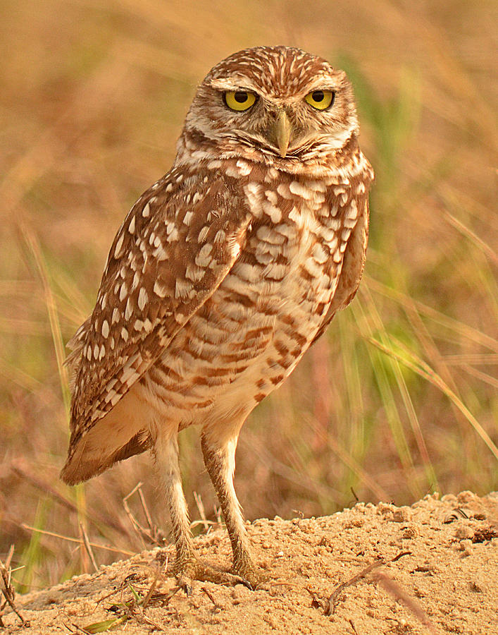 Burrowing Owl Photograph - Burrowing Owl by Nancy Landry