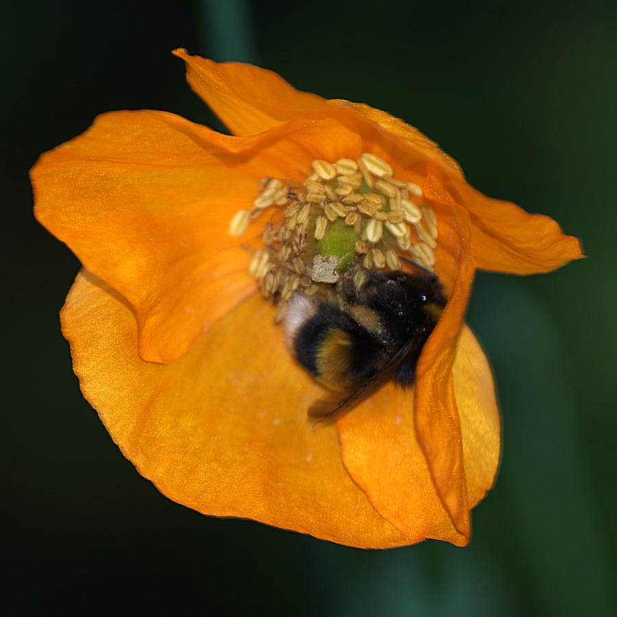 Bee Photograph - Busy Bee by Chris Day