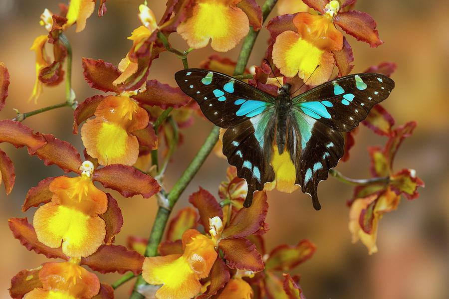 Sưu tập Bộ cánh vẩy 2 - Page 58 1-butterfly-graphium-stresemanni-darrell-gulin