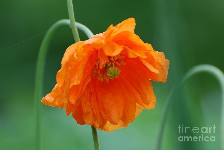 California poppy flower photograph by dejavu designs poppy photograph california poppy flower by dejavu designs mightylinksfo