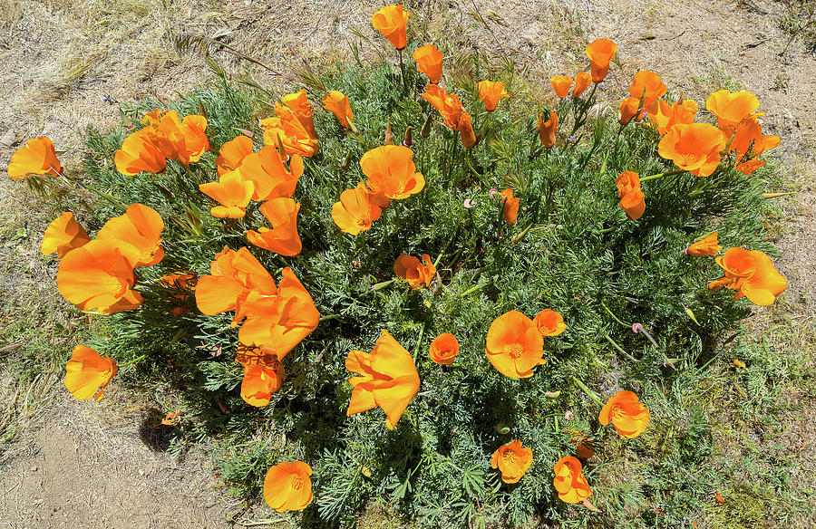 Horizontal Photograph - Californian Poppy Eschscholzia by Panoramic Images