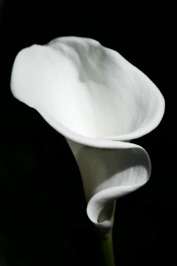 Calla Lilly Photograph - Calla Lilly by Cathie Tyler