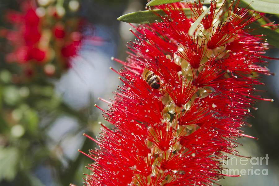 Callistemon Citrinus - Crimson Bottlebrush Photograph by Sharon Mau