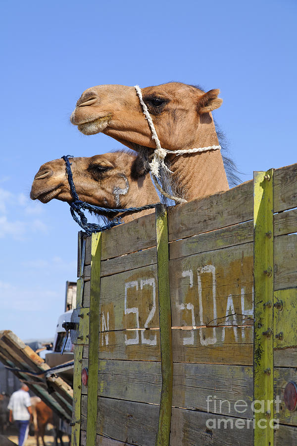 Camels Photograph - Camels At The Ashgabat Sunday Market In Turkmenistan by Robert Preston