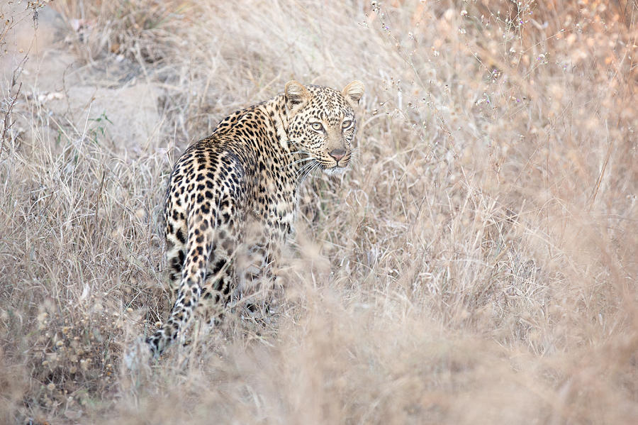 Leopard Photograph - Camouflaged Leopard by Christa Niederer