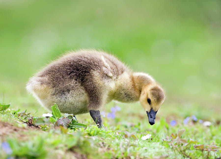 Branta Canadensis Photograph - Canada Goose by John Devries/science Photo Library
