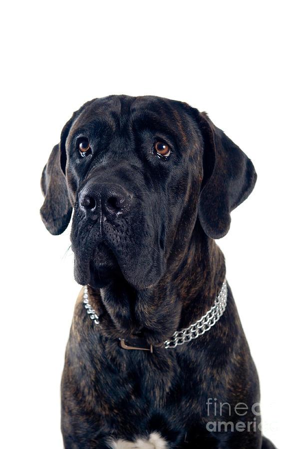 Animal Photograph - Cane-corso Dog Portrait by Viktor Pravdica