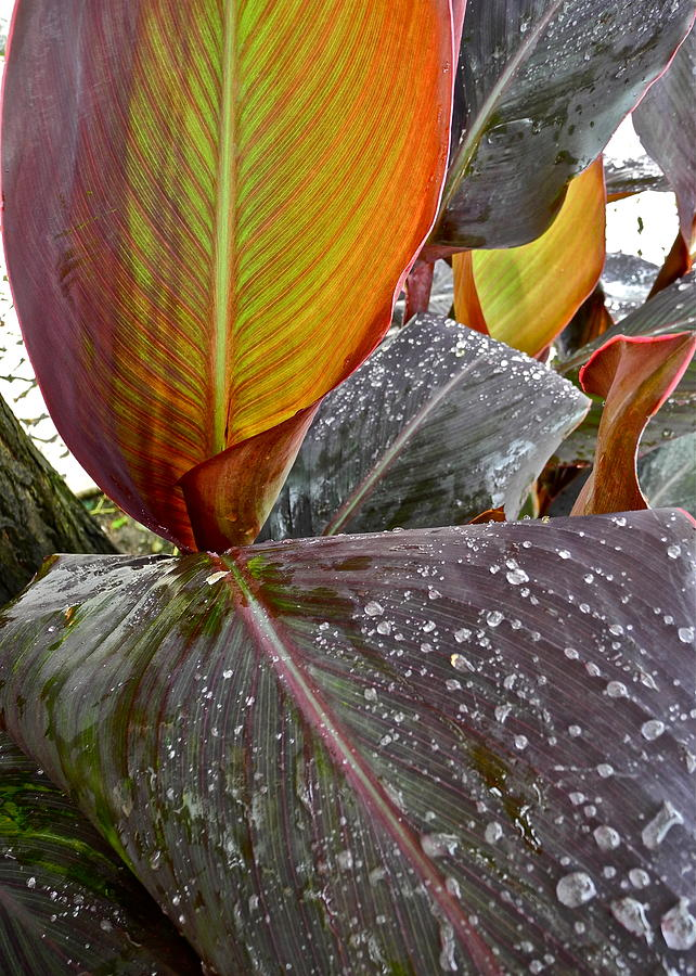 Canna Lilies Photograph - Canna Lily I  by Kirsten Giving