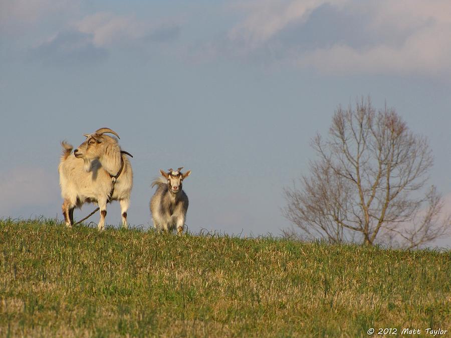 Nature Photograph - Caprine Hill by Matt Taylor