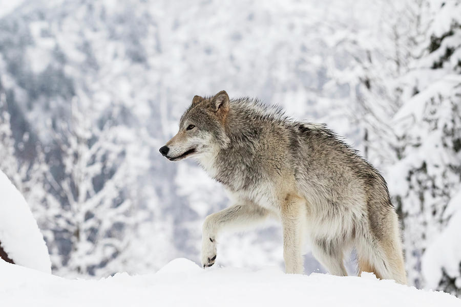 Captive  Female Tundra Wolf In Snow by Doug Lindstrand
