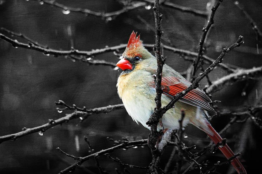 Birds Photograph - Cardinal On A Rainy Day by Trina  Ansel