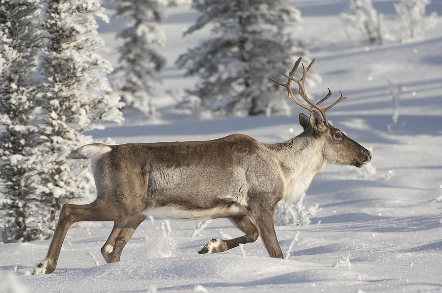 Caribou Running In Snow Alaska Photograph by Michael Quinton