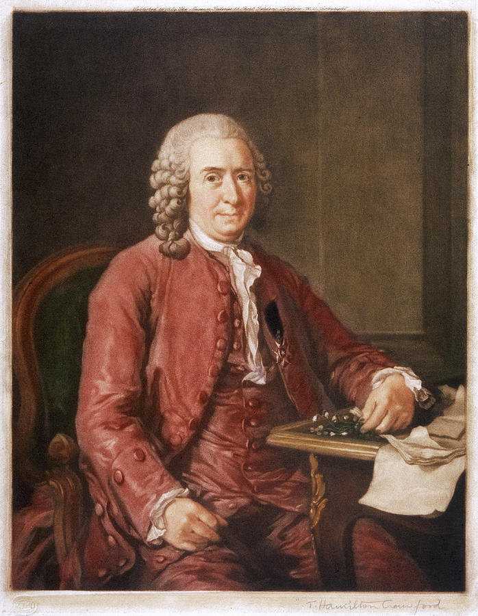 Linnaeus Drawing - Carl Von Linne Known As Linnaeus by Mary Evans Picture Library