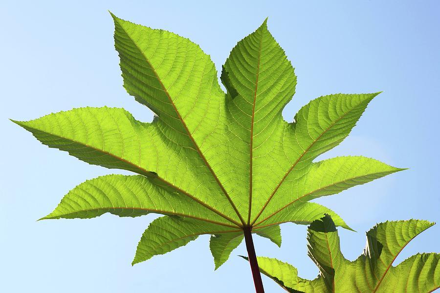 Castor Oil Plant Ricinus Communis Leaf Photograph By Michael Clutson Science Photo Library