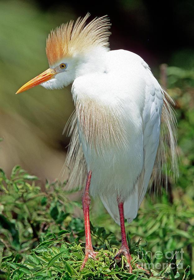 Fauna Photograph - Cattle Egret Adult In Breeding Plumage by Millard H. Sharp