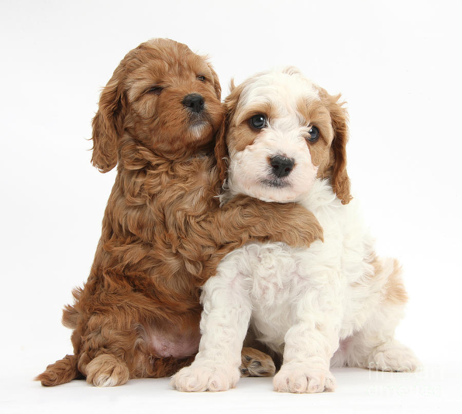 Cavapoo Puppies Hugging Photograph By Mark Taylor
