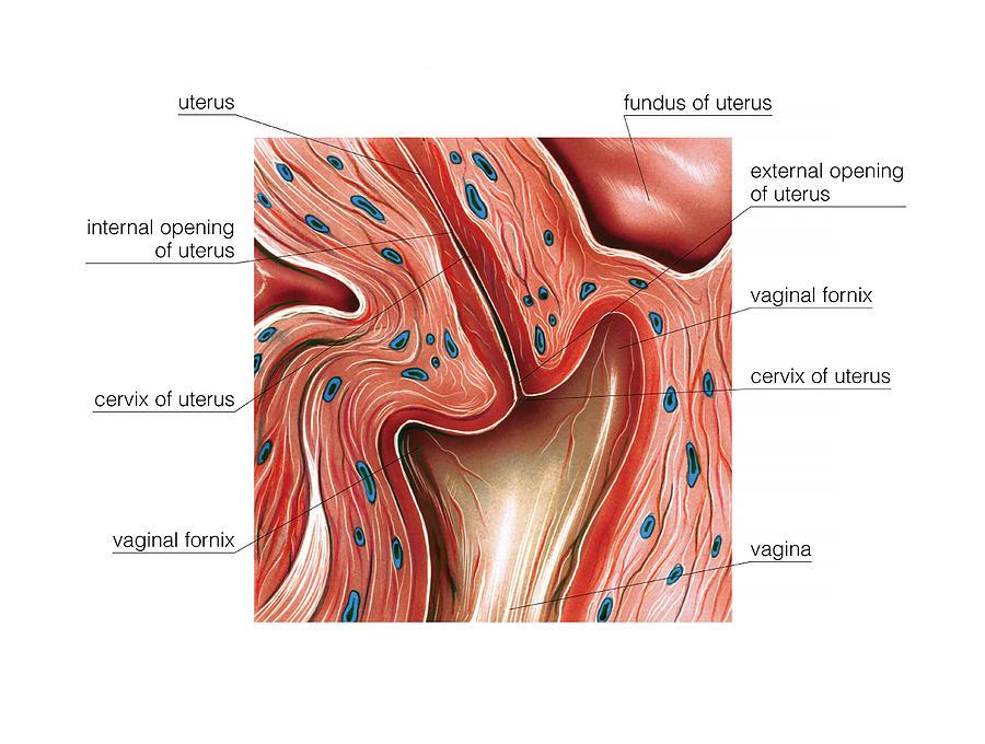 Cervix Photograph by Asklepios Medical Atlas