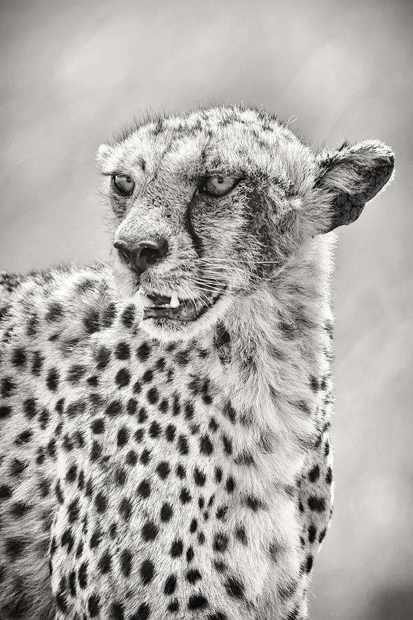 Africa Photograph - Cheetah by Adam Romanowicz