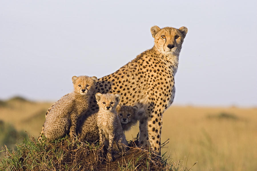 Cheetah Mother And Cubs Maasai Mara Photograph by Suzi Eszterhas