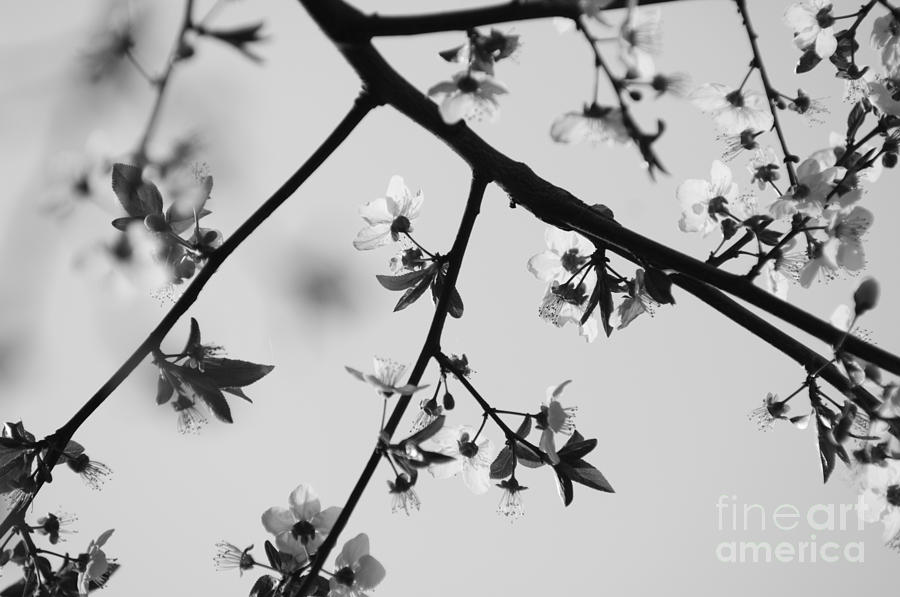 Cherry Blossom Black And White Photograph By Tim Hester