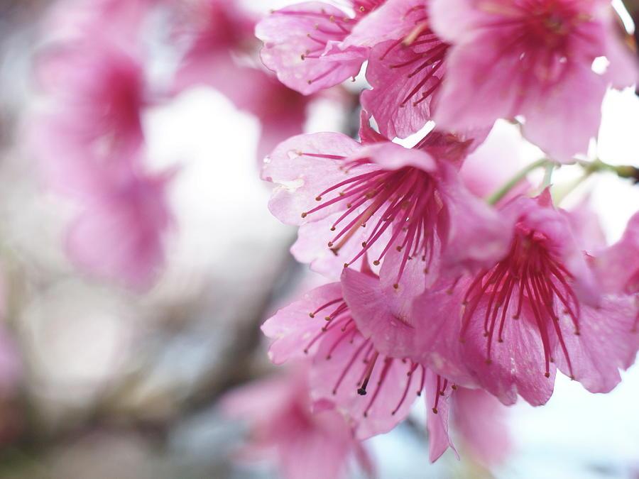 Cherry Blossom Photograph by Gen Umekita