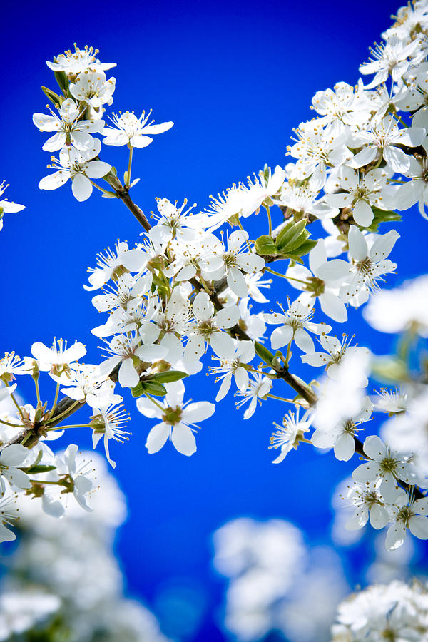 Flowers Photograph - Cherry Blossom With Blue Sky by Raimond Klavins