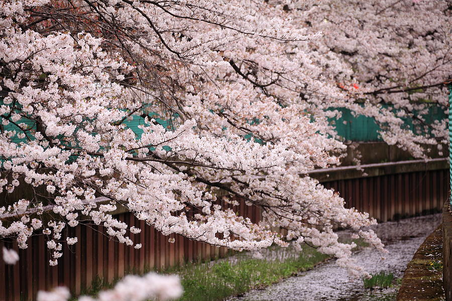 Cherry Blossoms Photograph by Photography By Zhangxun