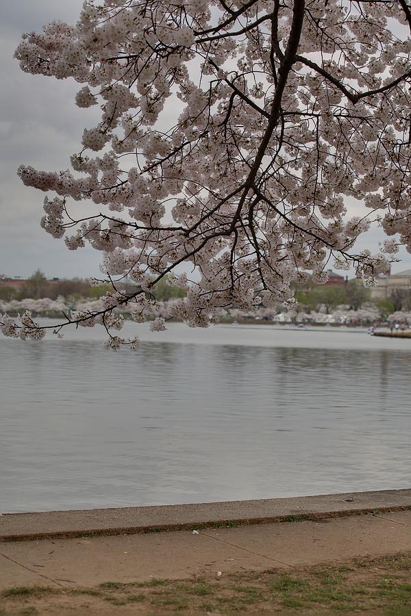America Photograph - Cherry Blossoms - Washington Dc - 011336 by DC Photographer