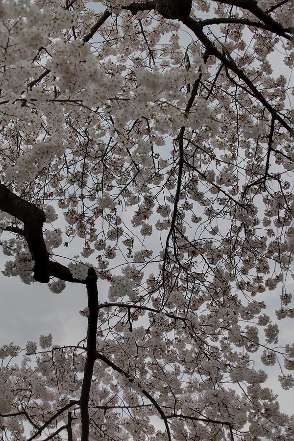 America Photograph - Cherry Blossoms - Washington Dc - 011342 by DC Photographer