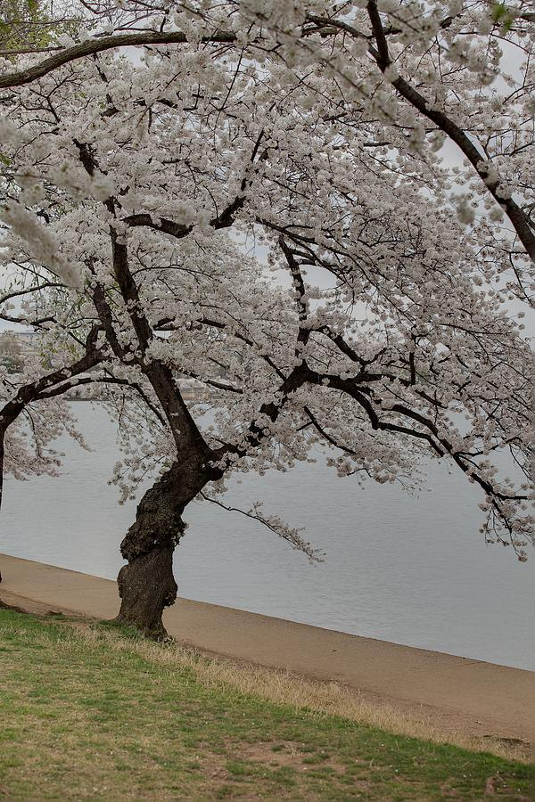 America Photograph - Cherry Blossoms - Washington Dc - 011343 by DC Photographer