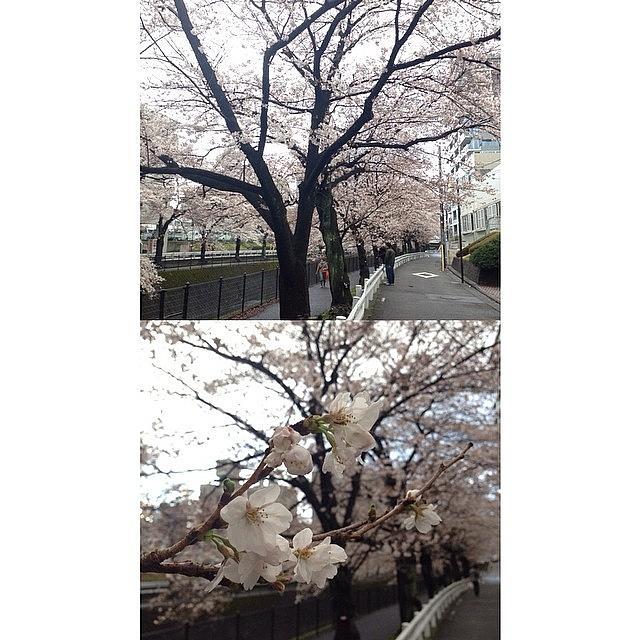 Landscape Photograph - Cherryblossoms #landscape #frontback by Tokyo Sanpopo