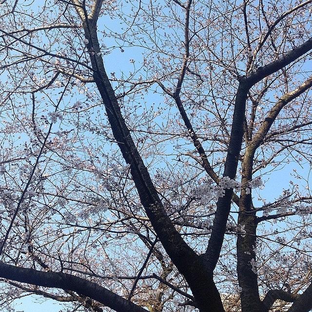 Landscape Photograph - Cherryblossoms #landscape by Tokyo Sanpopo