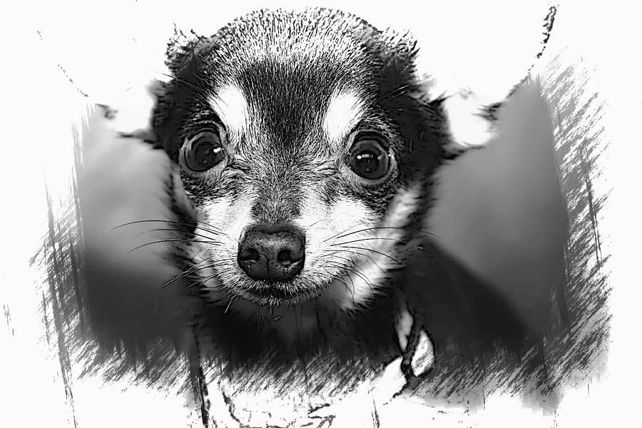 Chihuahua Photograph - Chi by Joyce Baldassarre