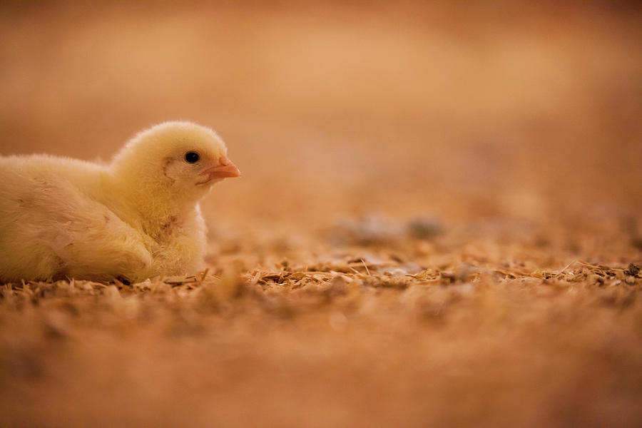 Abbotsford Photograph - Chick In Poultry Barn by Christopher Kimmel