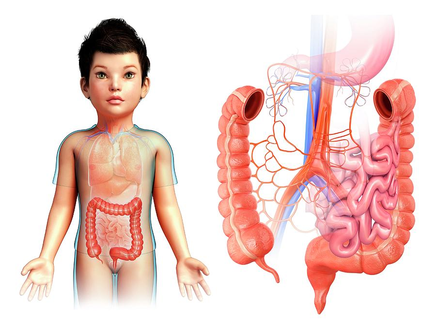 Childs Large Intestine Anatomy Photograph By Pixologicstudio