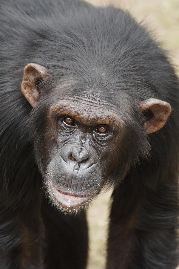 Chimpanzee Portrait Ol Pejeta Photograph by Hiroya Minakuchi